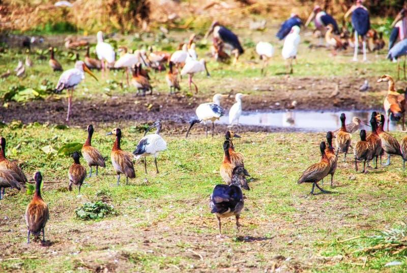 Различные большие птицы на берегах озера Awassa, Эфиопии стоковые изображения