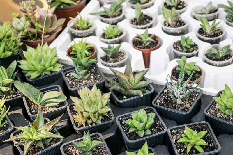 Различные типы суккулентного бака завода - echeveria, sempervivum, f стоковые фотографии rf