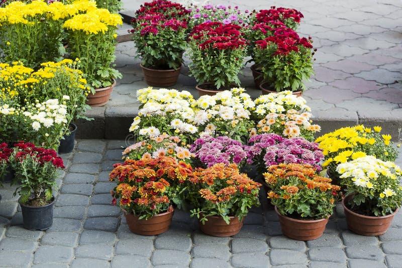 Различные цветки хризантем в продаже бака стоковые изображения rf