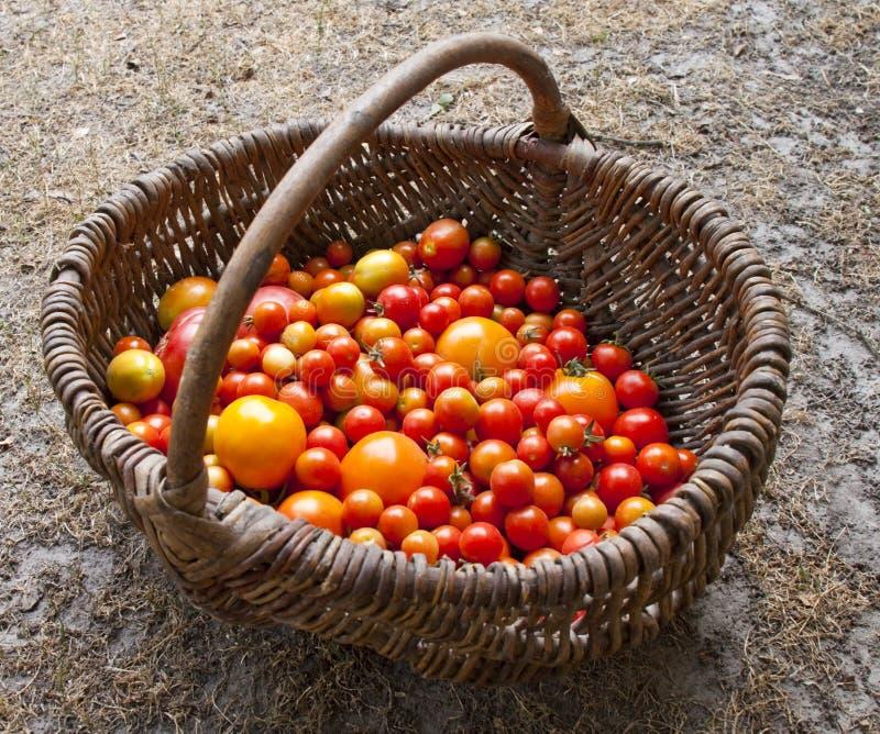 различный домашний выход томатов стоковая фотография rf