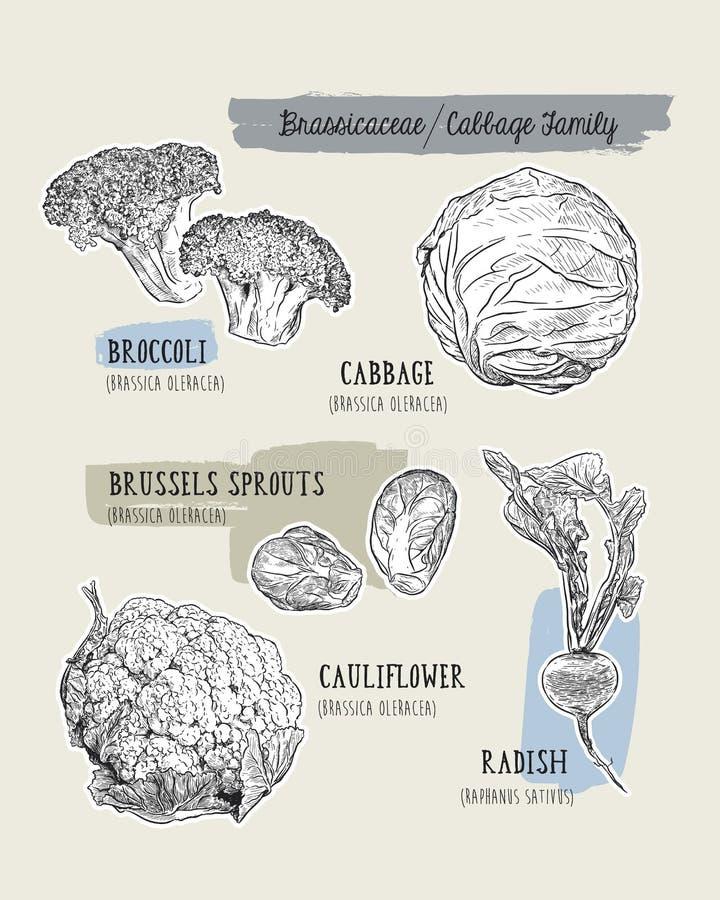 Различный комплект капусты капуста, брокколи, ростки Брюсселя, cauli иллюстрация вектора