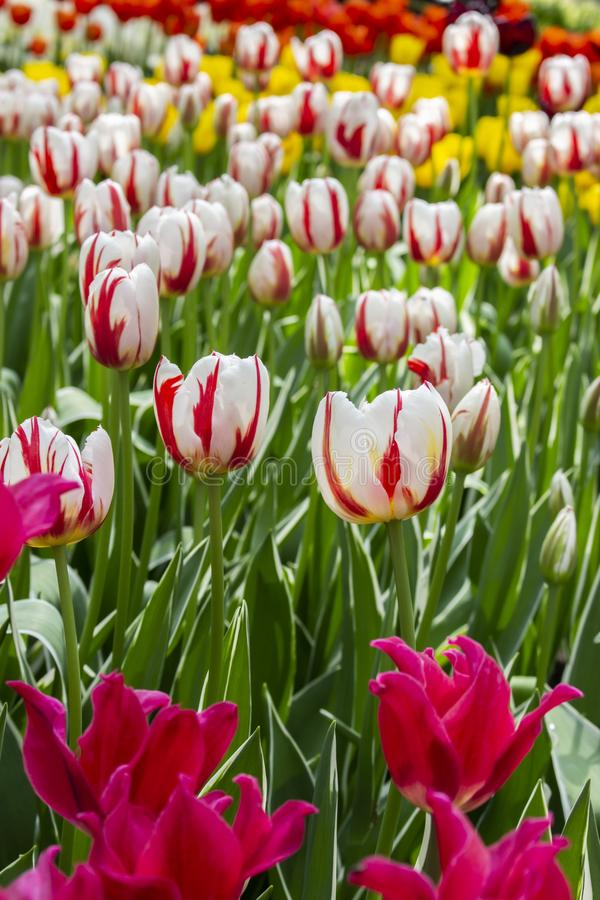 Разнообразие белых цветков тюльпанов 2 цветов красных, varietal тюльпана сада на flowerbed в парке, вертикали Много яркие стоковое изображение rf