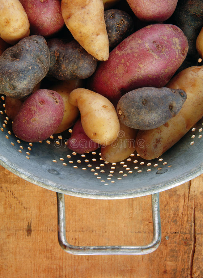 разнообразие картошек fingerling collander стоковые изображения rf