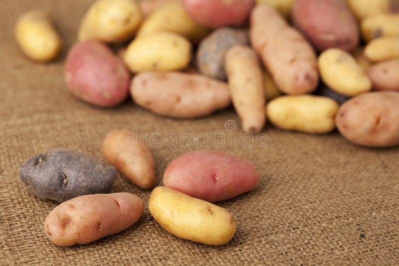 разнообразие картошки fingerling стоковая фотография rf