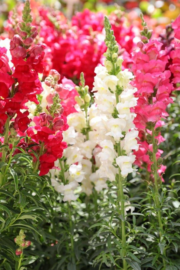 Разнообразие красивых majus Antirrhinum или цветков Snapdragon в белом, пинке и красных цветах в саде стоковое изображение