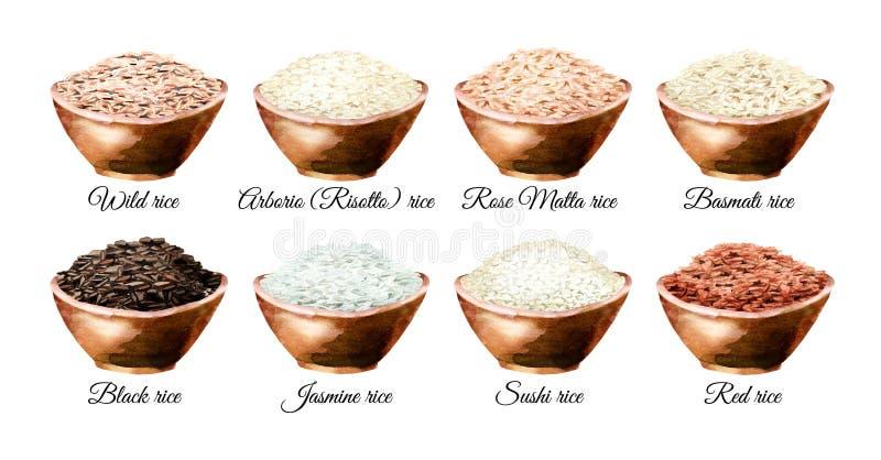 Разнообразие риса Иллюстрации акварели нарисованные рукой установили, изолированный на белой предпосылке стоковые изображения rf