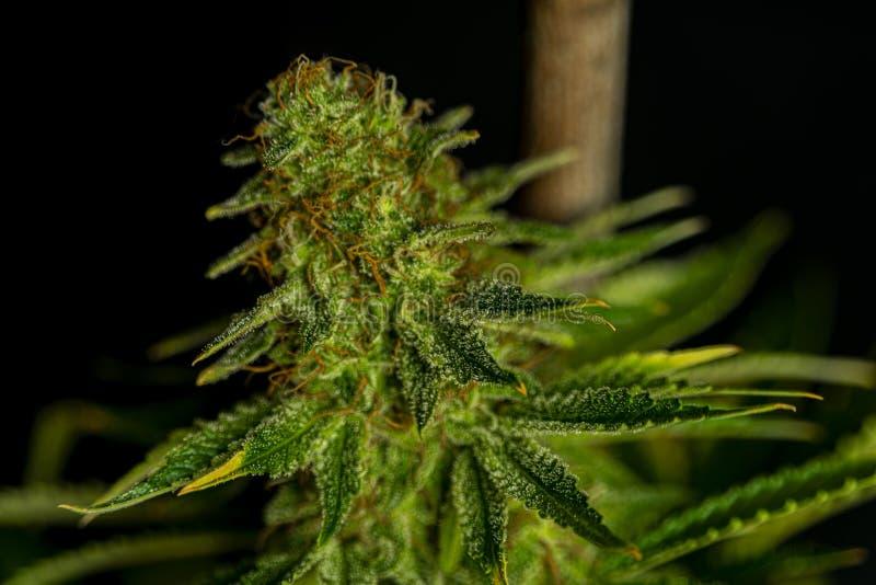 Разнообразие славного афганского kush цвета особенное цветка марихуаны с достигшими возраста цветенями стоковая фотография