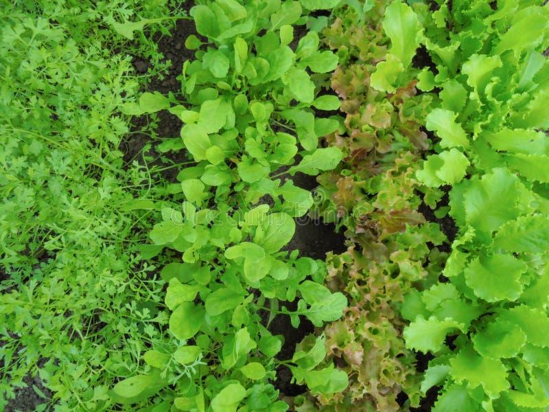 4 разнообразия молодого зеленого цвета и красного салата растя в земле стоковые фото