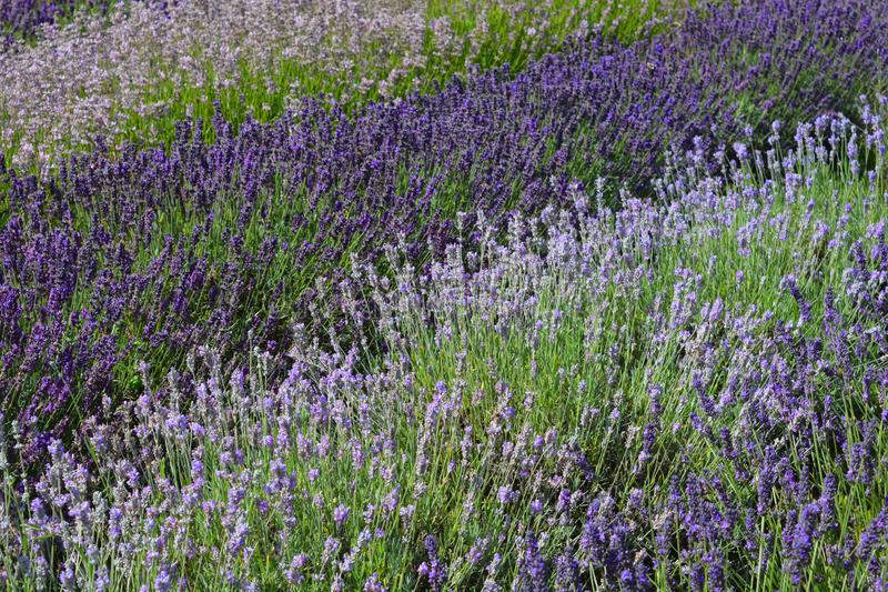 Разнообразия различных кустарников лаванды засаженных в строках для драматического влияния в лаванде садовничают стоковое фото