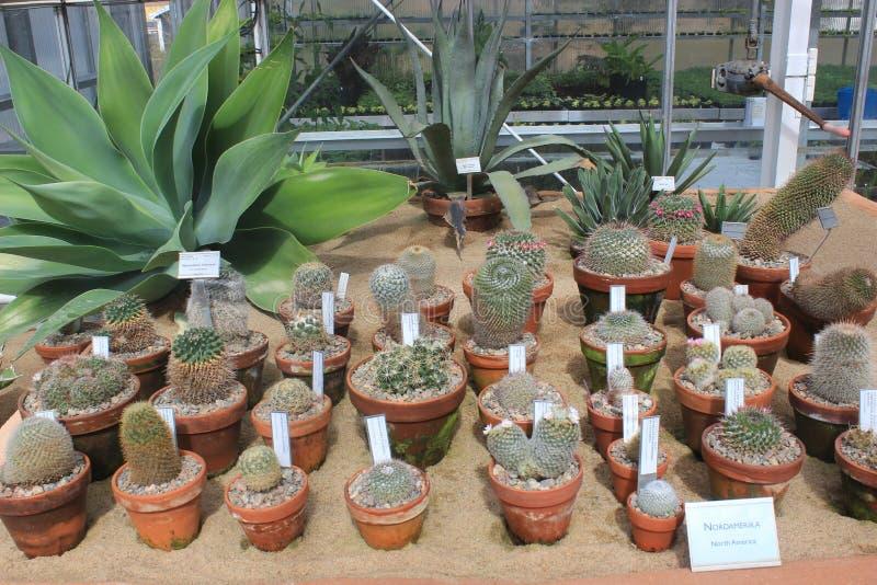 Разнообразная группа в составе малые кактусы в саде Гётеборга ботаническом, кактусе, заводах, пустыне, суккулентной стоковая фотография