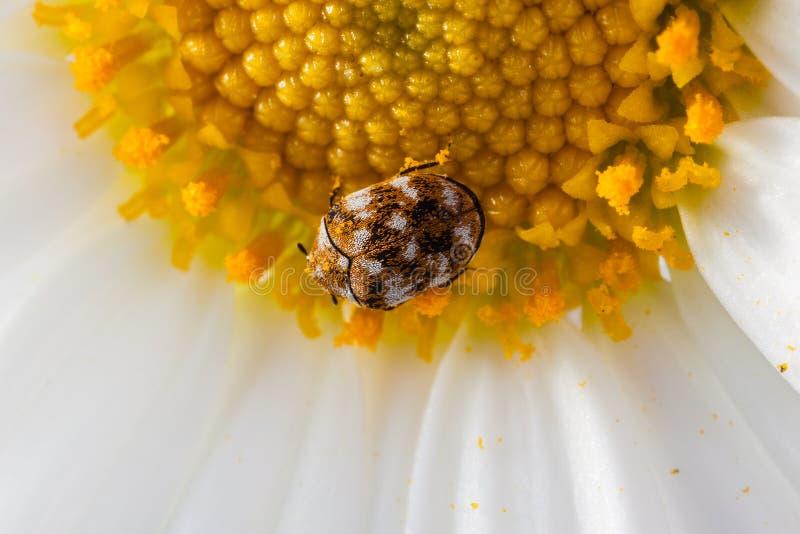 Download Разнообразный жук ковра на маргаритке Стоковое Фото - изображение насчитывающей космополитическо, closeup: 40588450