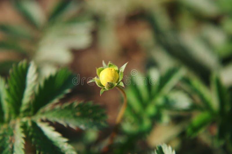 Разоблачение желтого цветка стоковая фотография rf