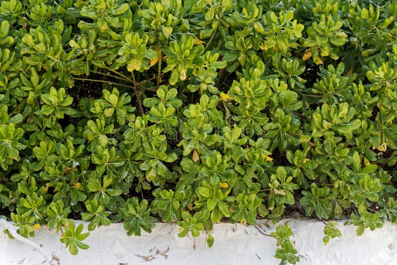 Разрешение лист куста зеленого цвета завода капусты пляжа стоковое фото rf