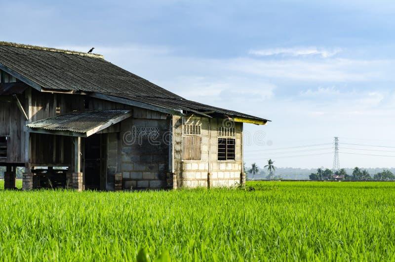Разрушанные рисовые поля деревянного дома развязности окружающие стоковая фотография