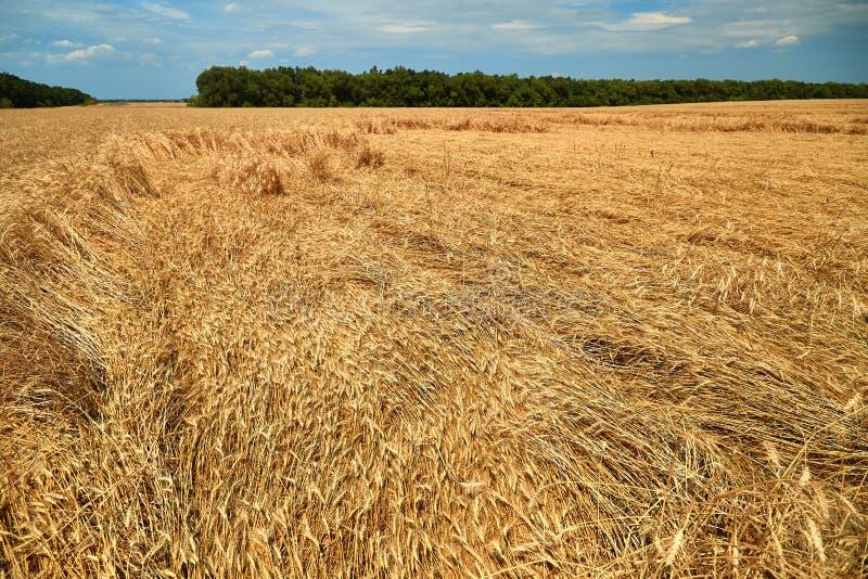 Разрушил сбор пшеницы сильным ветером, полем избалованным ураганом на ферме стоковое фото rf