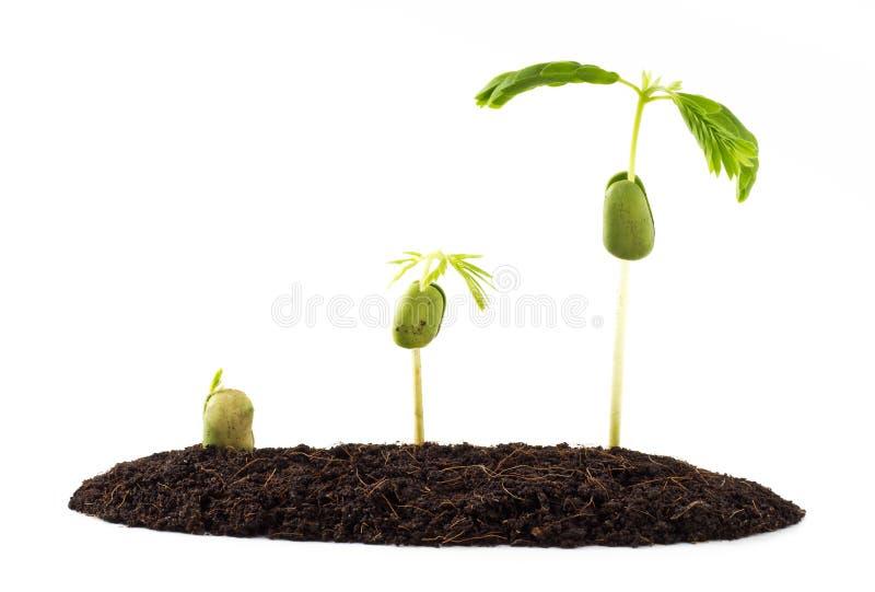 Росток семени тамаринда стоковые фото