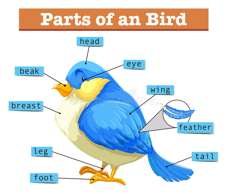 Различные части маленькой голубой птицы иллюстрация вектора