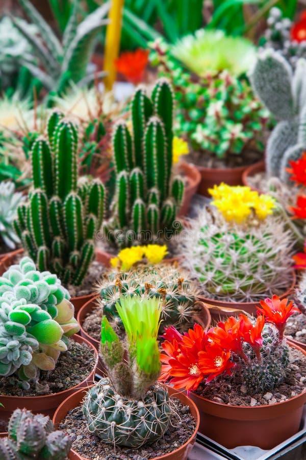 Различные blossoming кактусы стоковая фотография