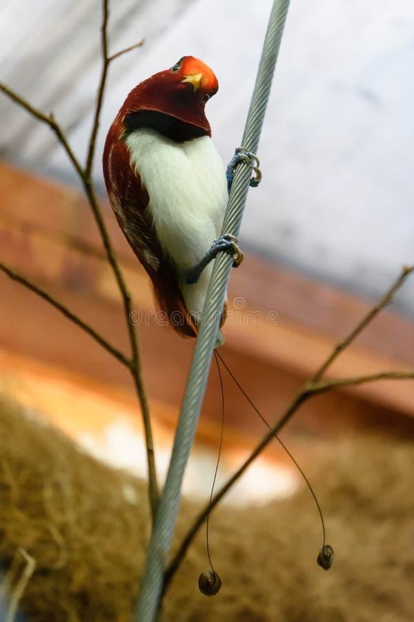 Райская птица короля стоковые фото