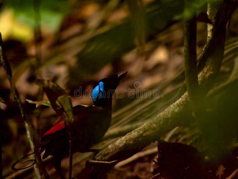 Райская птица Уилсона в западной Папуа стоковые фотографии rf