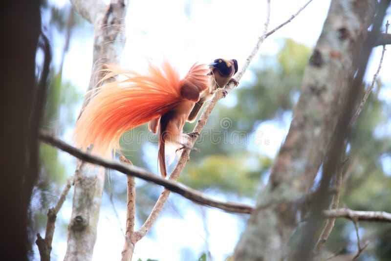 Райская птица Raggiana стоковое фото rf