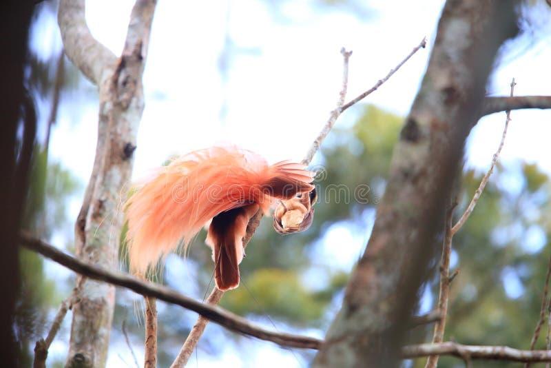 Райская птица Raggiana стоковые фотографии rf