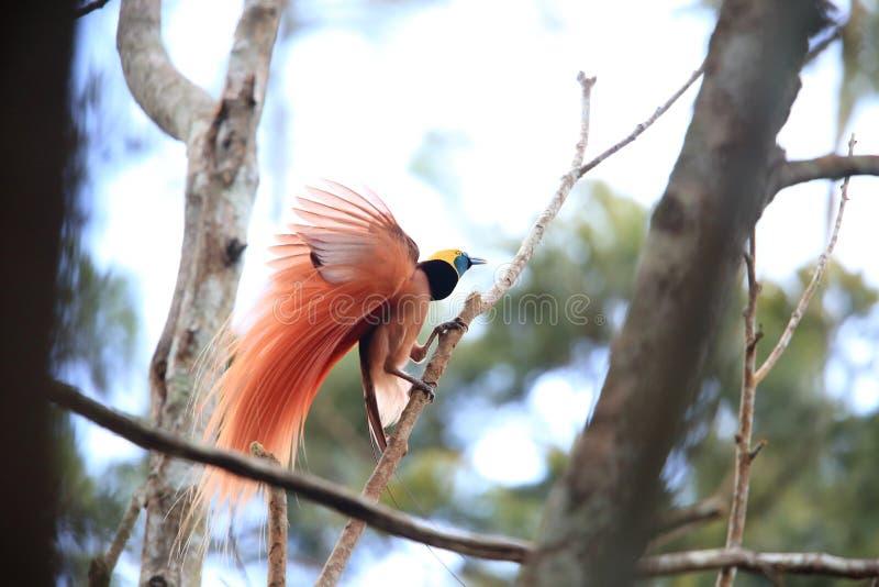Райская птица Raggiana стоковые изображения