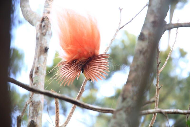 Райская птица Raggiana стоковые изображения rf