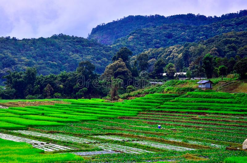 Райс Таррас в деревне Маэ Кланг Луанг , Чианмай Таиланд стоковая фотография rf