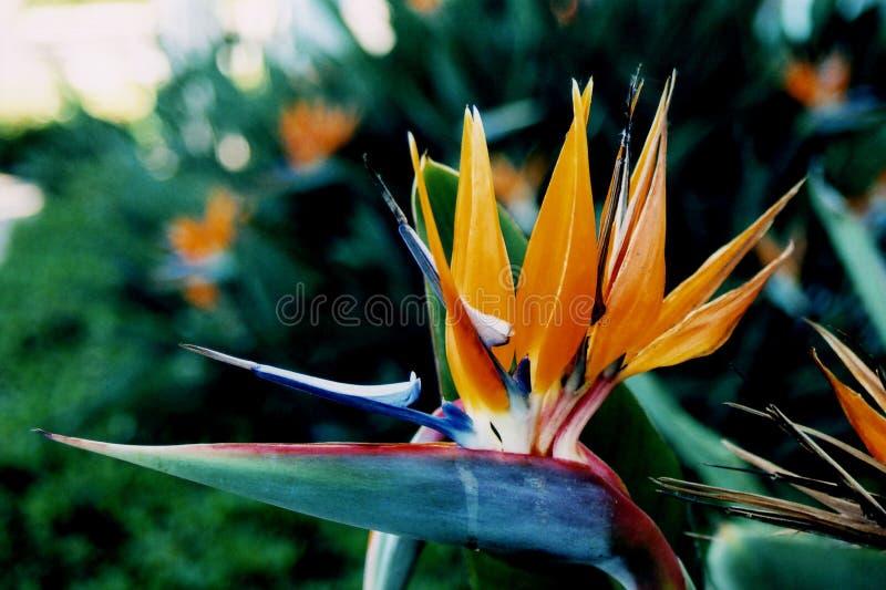 рай цветка птицы тропический стоковое изображение rf