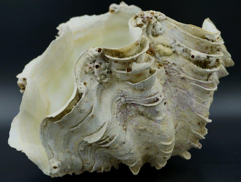 Раковина гигантского clam стоковые изображения rf