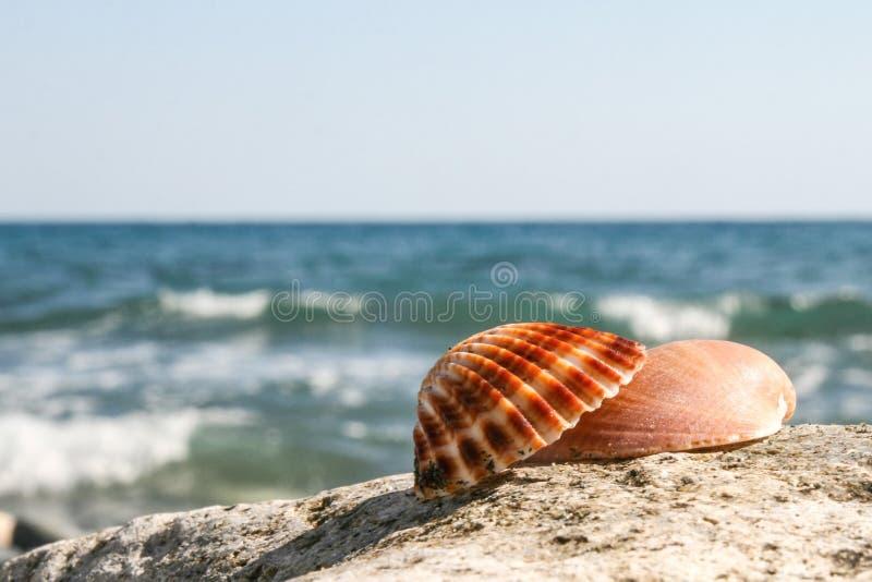Раковина Кипр моря стоковое изображение rf