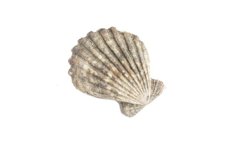 Раковина моря изолированная на белой предпосылке стоковые изображения rf