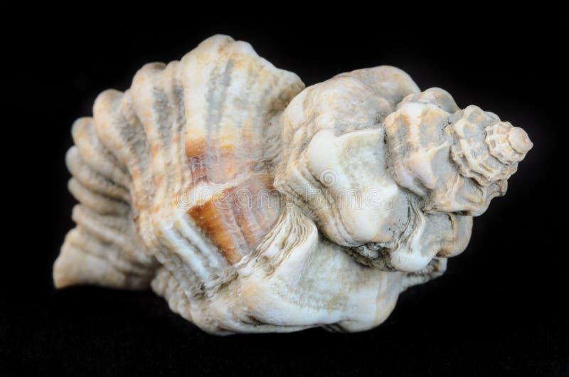 Раковина моря изолированная на черноте стоковые изображения rf
