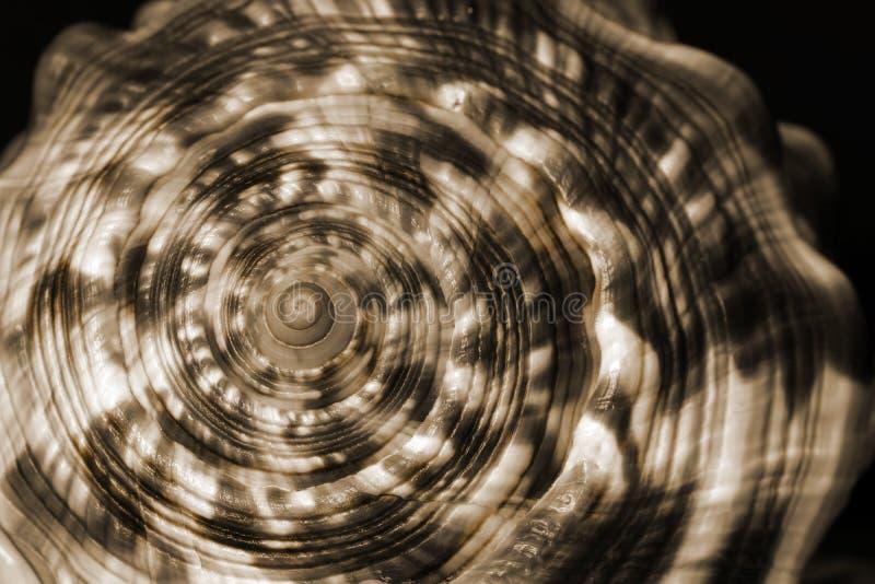 Раковина моря свирли стоковая фотография