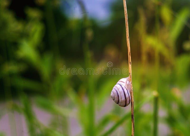 Раковина улитки на лист травы Красивый макрос природы, полезный как предпосылка стоковые изображения