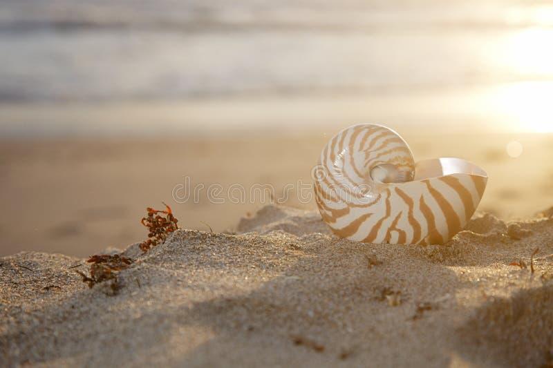 Раковина Nautilus на пляже под золотистым солнцем стоковые фотографии rf