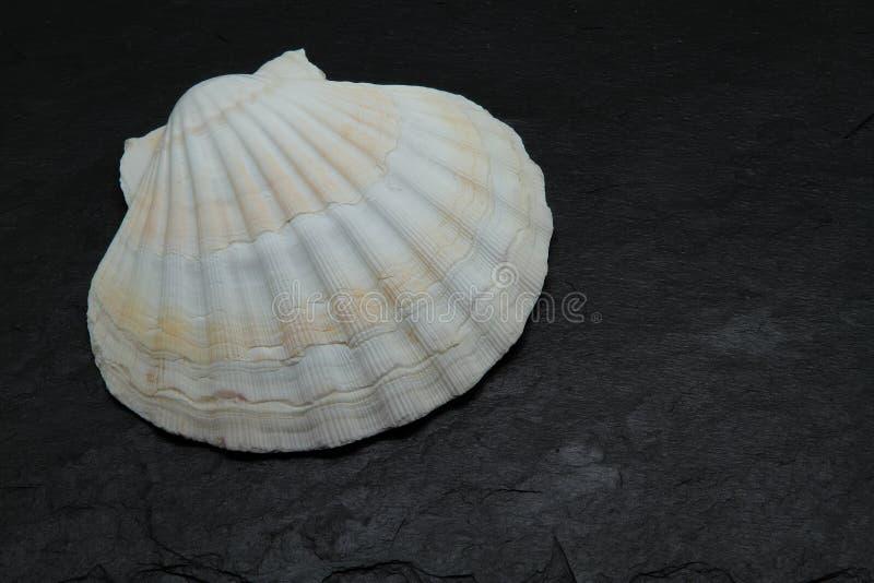 Раковина Scallop стоковое изображение rf