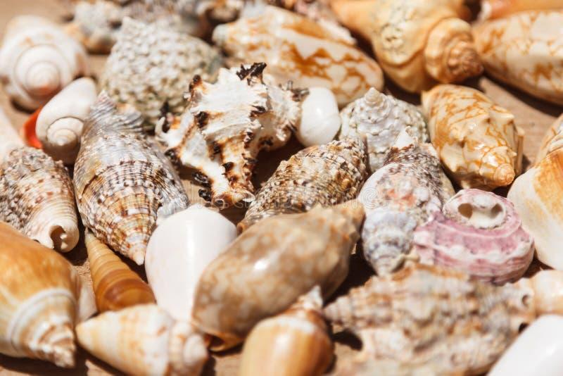 Раковины моря закрывают вверх в пляже Кабо-Верде Santa Maria стоковые фотографии rf