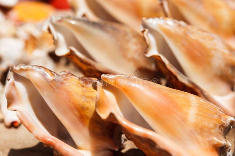 Раковины моря закрывают вверх в пляже Santa Maria - Кабо-Верде стоковые изображения rf