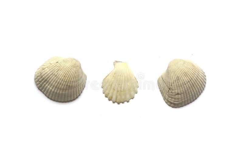 3 раковины моря изолированной на белой предпосылке стоковые фото