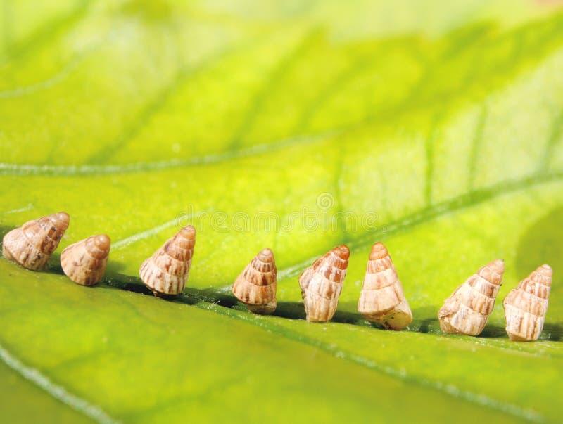 Раковины улитки на зеленых лист стоковая фотография rf