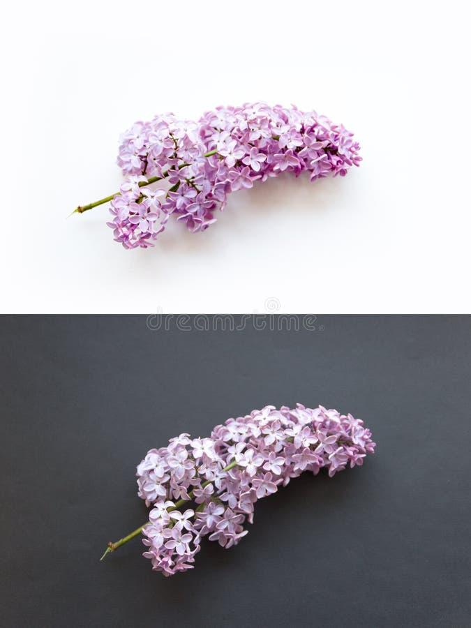 Рамка ветвей и цветки сирени на розовой предпосылке пробел для карт на весна стоковая фотография