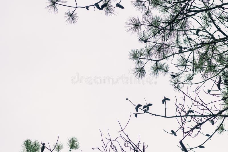 Рамка ветвей сосны стоковое фото