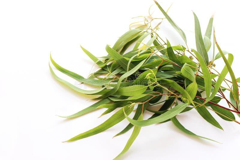 Рамка, граница сделала свежего эвкалипта с длинными листьями Зеленые ветви изолированные на белой предпосылке таблицы Флористичес стоковые фото