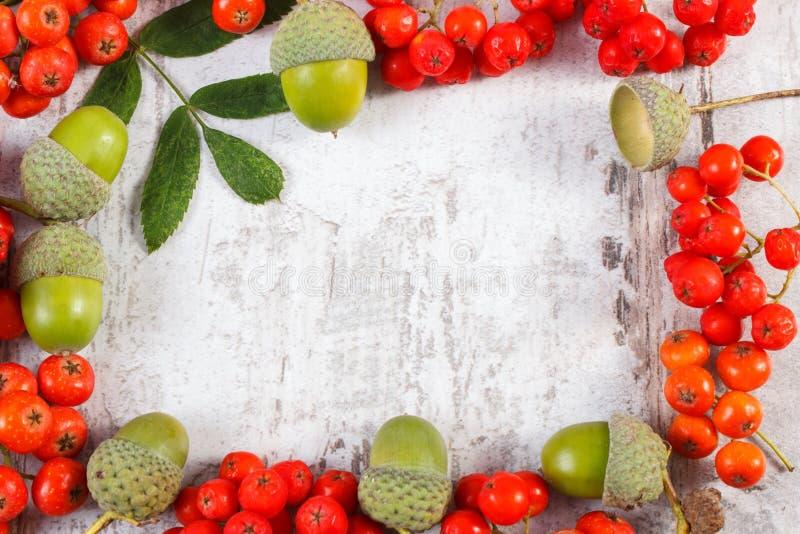 Рамка красной рябины и зеленого жолудя с космосом экземпляра для текста стоковые изображения
