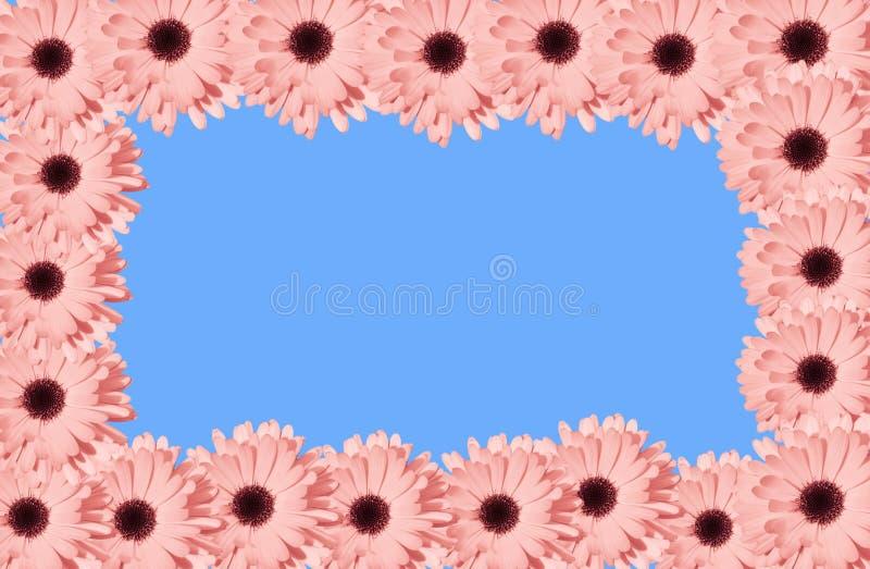 Рамка маргаритки коралла или пинка квадратная на голубой предпосылке Самомоднейшая флористическая рамка Взгляд сверху стоковые изображения