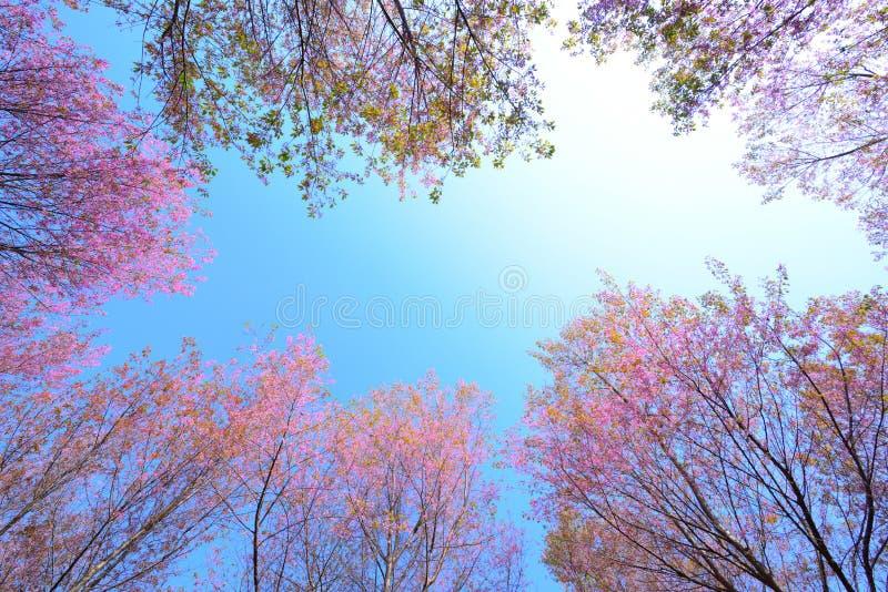 Рамка одичалой гималайской вишни, розовых вишневых цветов с голубым Sk стоковые изображения rf