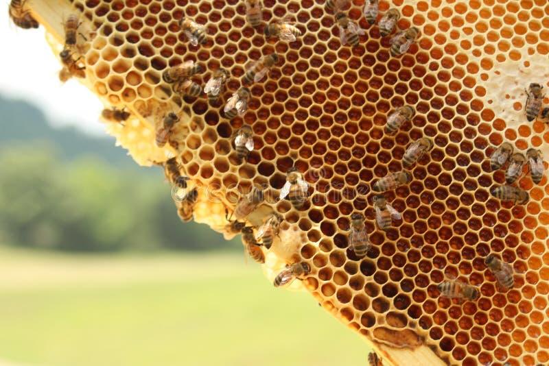 Рамка пчелы в весеннем времени стоковое изображение