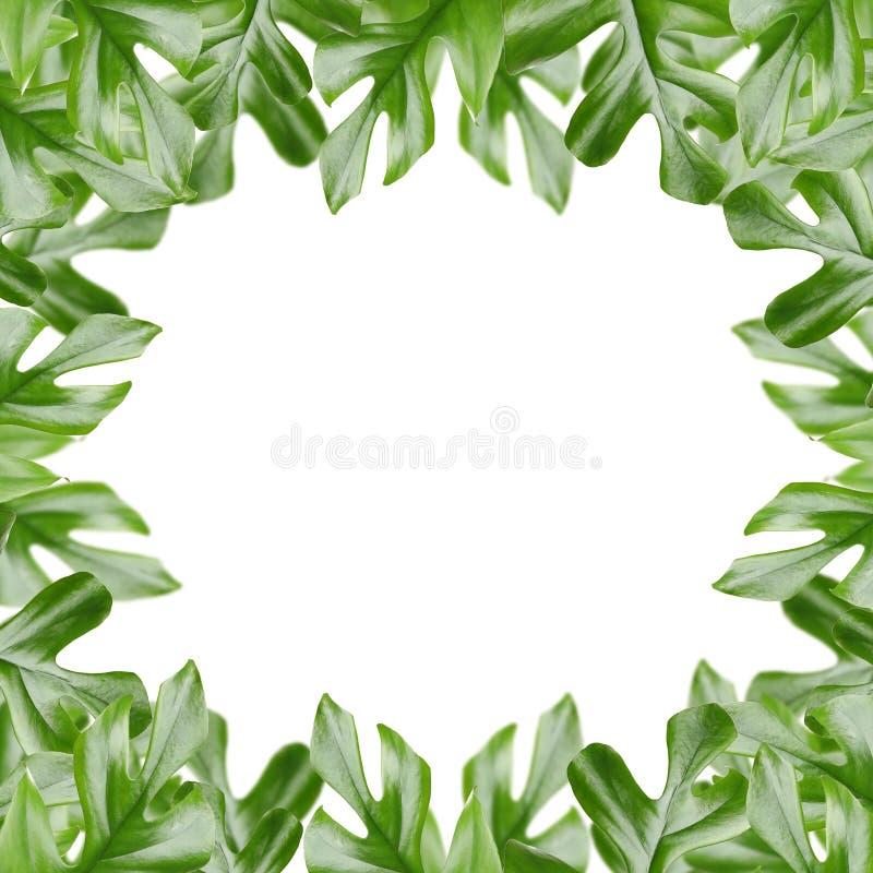 Рамка сделала из свежих зеленых тропических листьев на белой предпосылке стоковая фотография rf